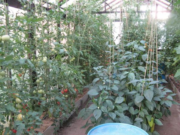 Можно ли помидоры сажать вместе с перцами 7