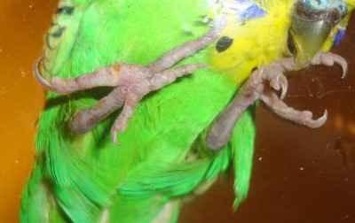 Попугай стоит на одной ноге почему