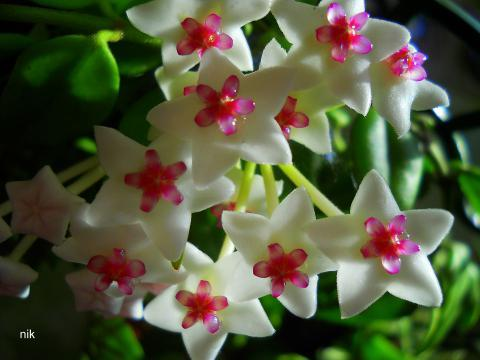Вдовьи цветы