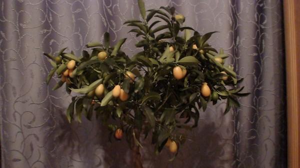 Почему гибнет мандариновое дерево