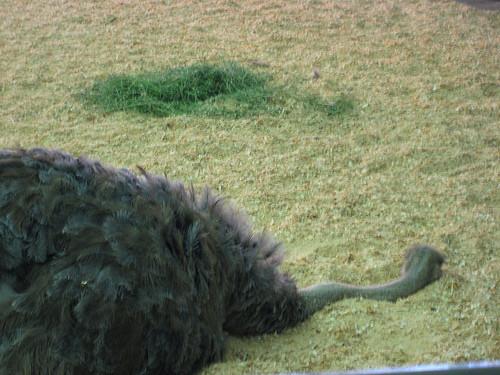 Как спит страус