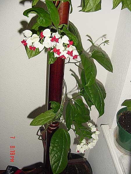 Комнатные цветы лиана