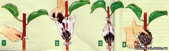 Как размножить фикус черенками в домашних условиях