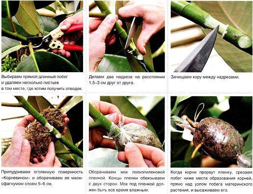 Как укоренить фикус каучуконосный черенком пошаговые