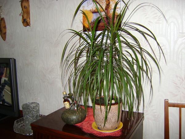 Фото цветов похожих на пальму домашнюю