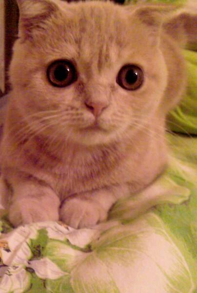 Можно ли вязать британского вислоухого кота