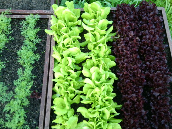 Почему салат становиться горьким