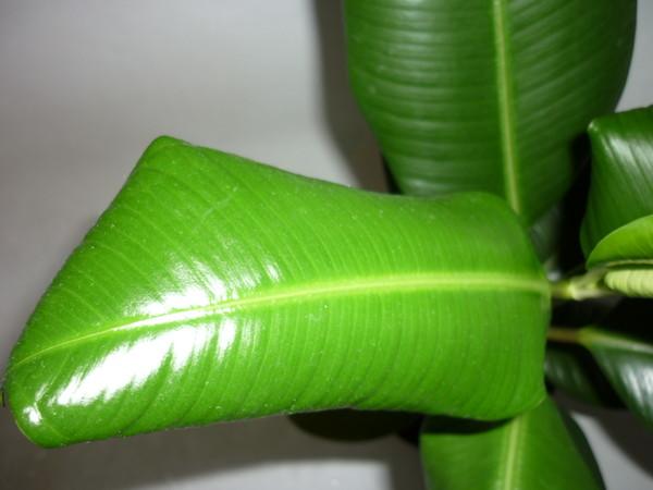 Почему у фикуса листья сворачиваются