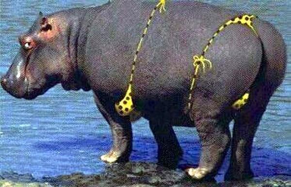 Секс с бегемотами