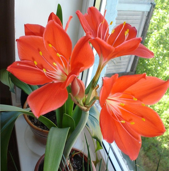 Комнатный цветок похожий на лилию на толстом стебле