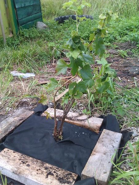 Как огородить смородину