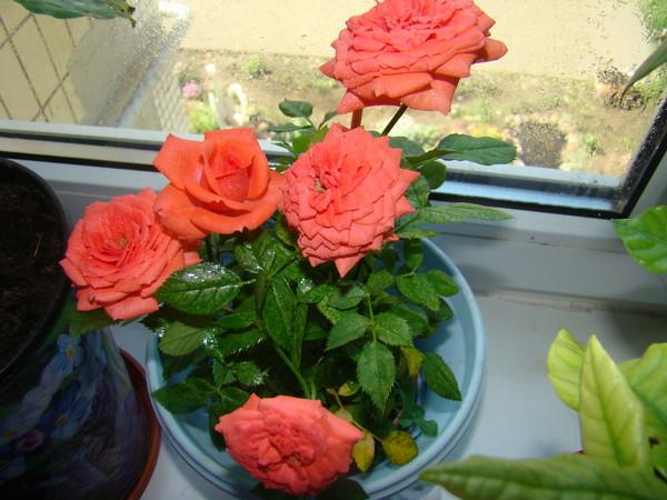 251К розы комнатной желтеют листья что делать