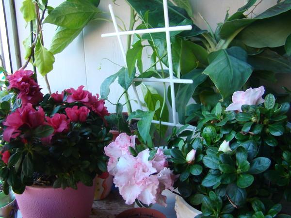 Почему не цветет азалия в домашних условиях
