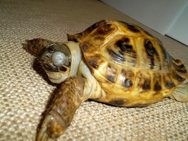 Критерии констатации смерти черепахи - - все о самец красноухой черепахи не вылазит на бережок амфибии и