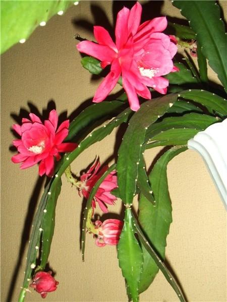 Кактус тещин язык цветок