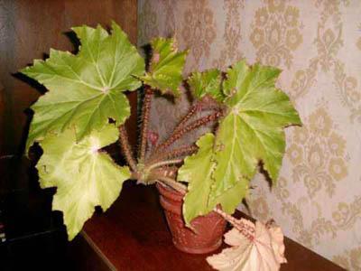 Цветы с листьями как у клена