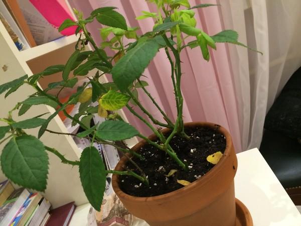 Почему желтеет домашняя роза и опадают листья