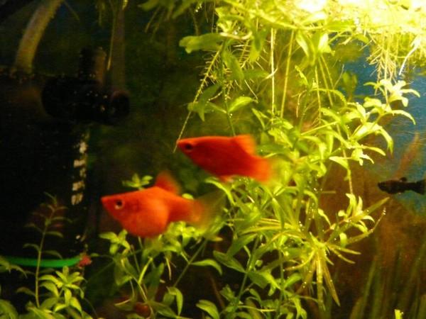 Рыбки пецилии беременной