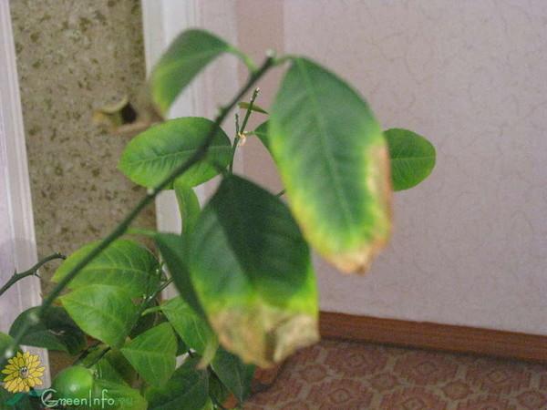 Болезни лимон в домашних условиях 837