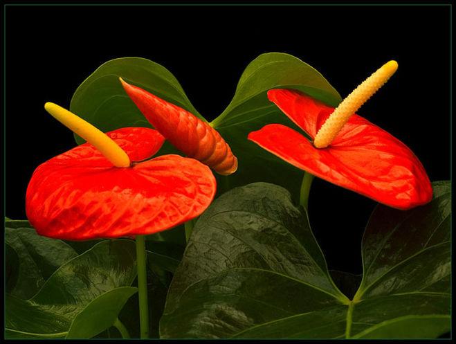 Цветок похожий на мужское счастье