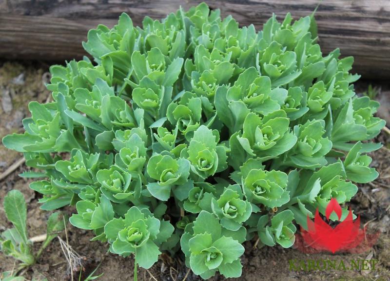 Цветок комнатный заячья капуста 123