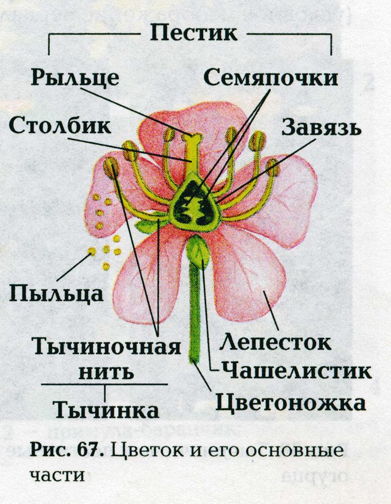 Цветок части цветка