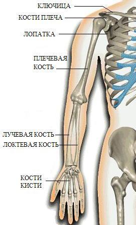 скелет человека строение плечевого сустава