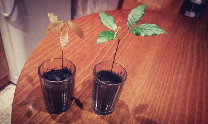 Выращивание лонган из косточки в домашних условиях 388
