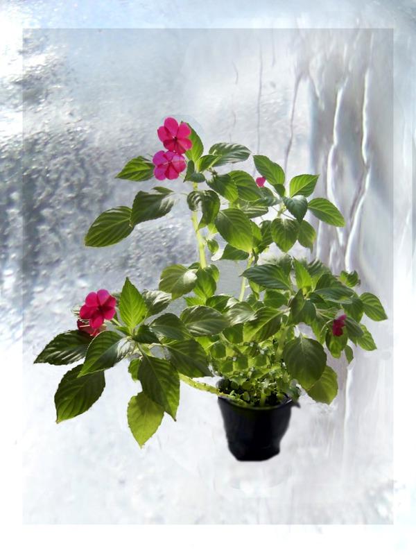 Комнатный цветок ванька мокрый и уход