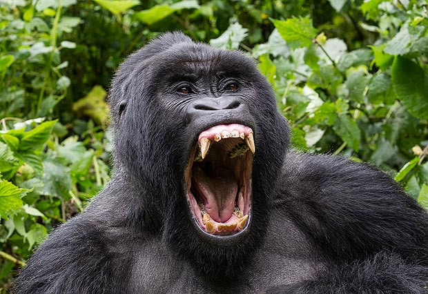 Gorillas show Human expressions and behaviors  by Kevin Hunter