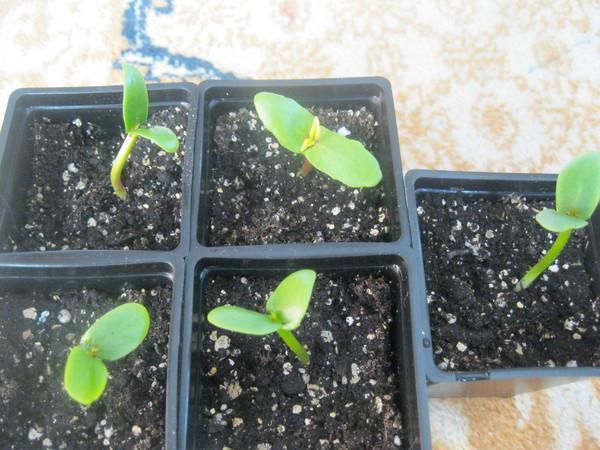 Фуксия выращивание из семян когда сажать 97