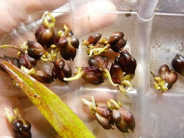 Выращивание лилий 22