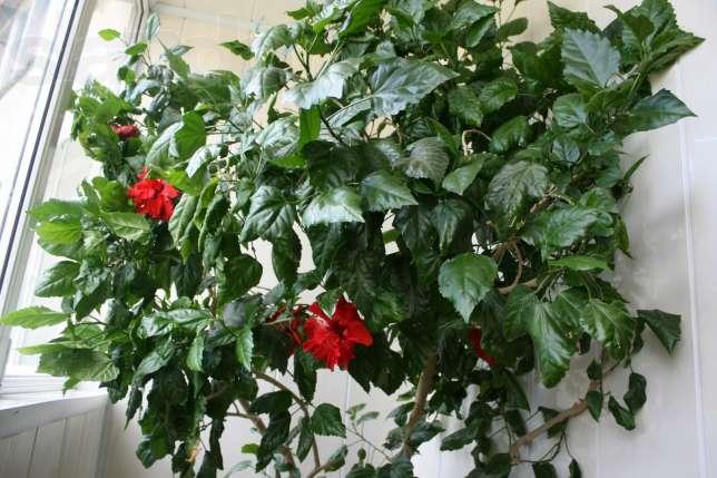 Домашняя роза уход в домашних условиях фото