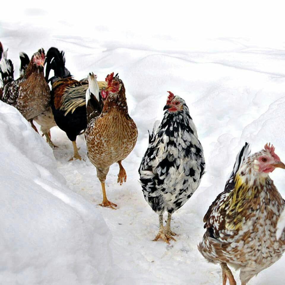 Домашние куры в зимних условиях