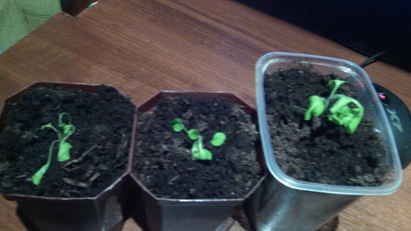 Размышляя, почему желтеют листья у рассады помидор, во-первых, следует обратить внимание на корневую систему