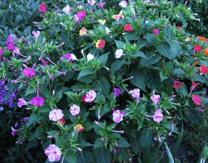 Цветок ночная красавица рассада