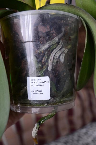 Почему у орхидеи засыхают корни что делать
