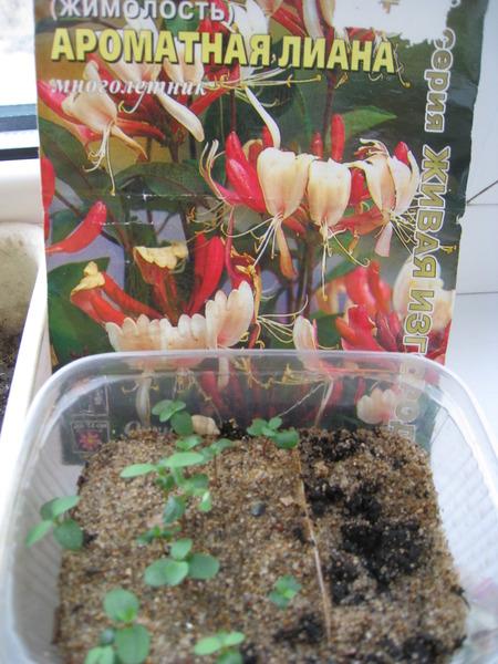 Когда сажать семена жимолости 52