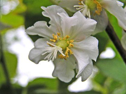 Цветы актинидии отличия