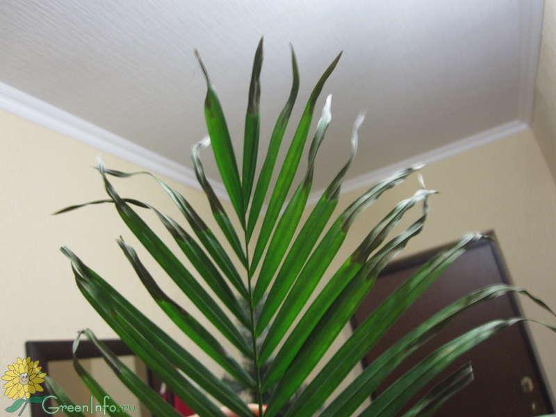 Пальма домашняя сохнут листья уход в домашних условиях 538