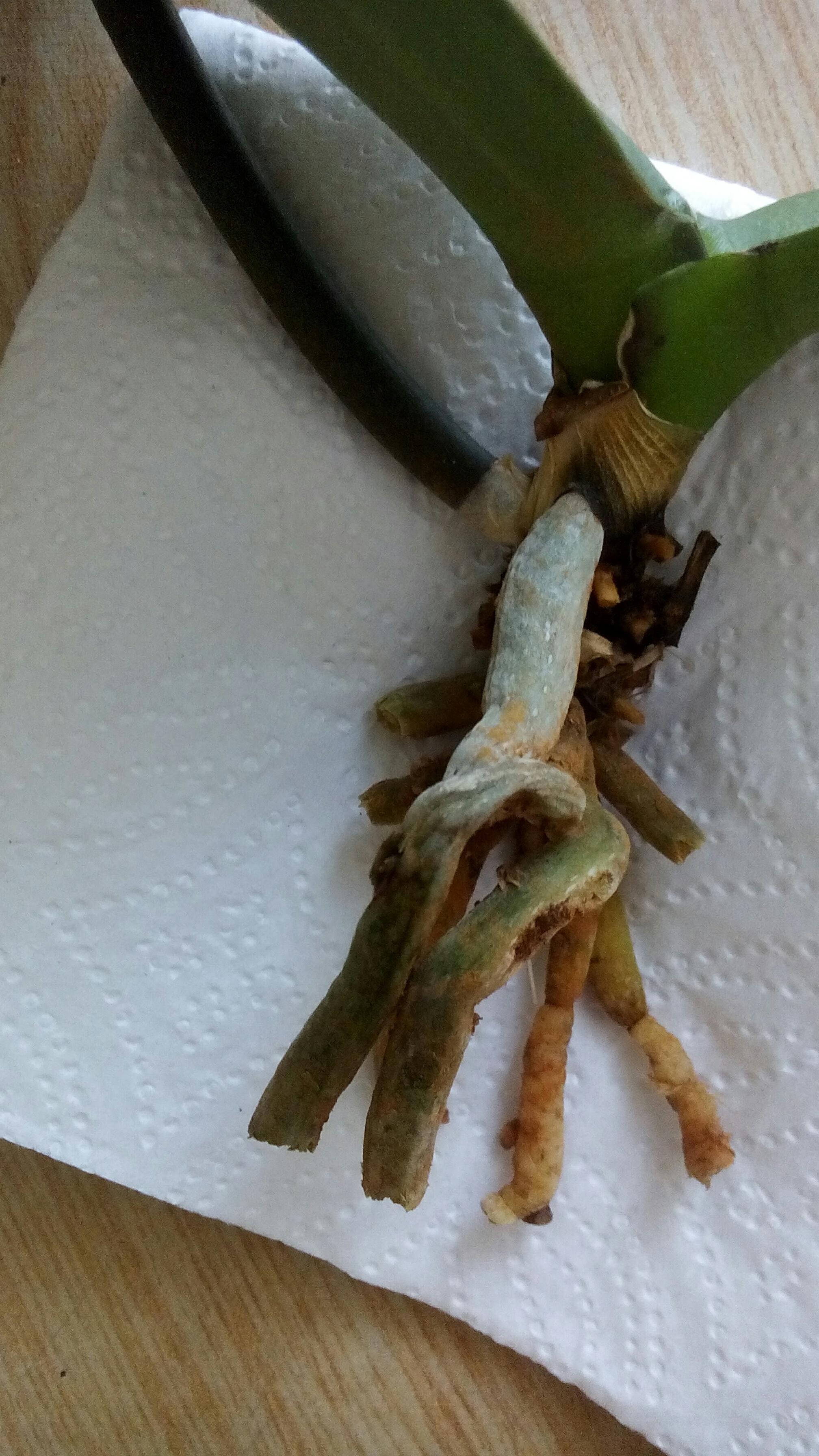 Если у орхидеи сгнили корни что делать фото