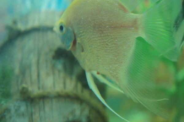 Признаки заболевшей рыбы2 любителям аквариума