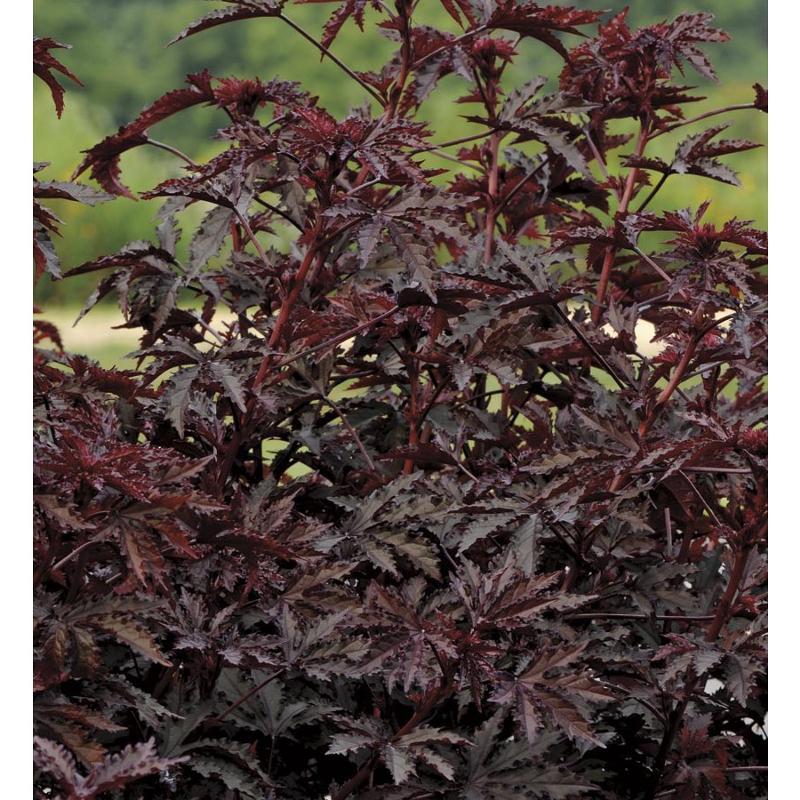 Гибискус краснолистный выращивание и уход 83