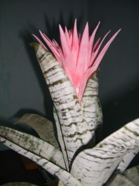 Разновидности тещиного языка цветок