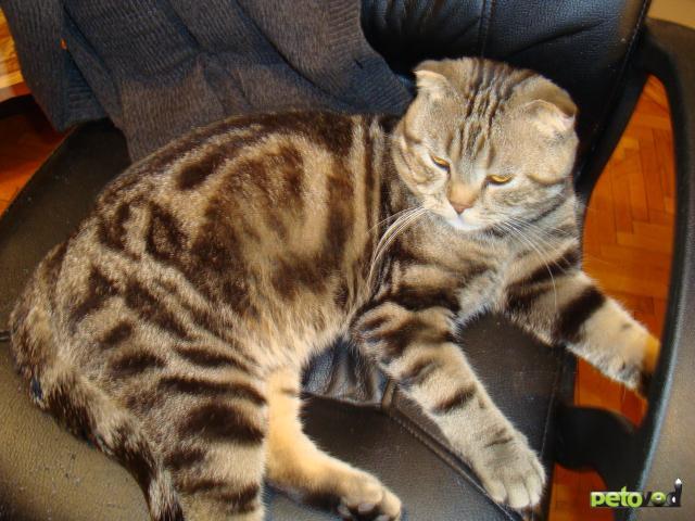 расцветки шотландских кошек фото и название