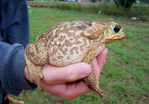 Летом зеленые жабы начинают кормиться около 2000 часов, и к 2300