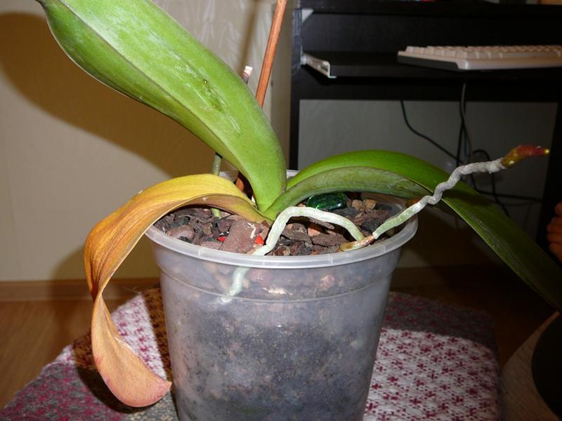 У орхидеи краснеют листья почему 89