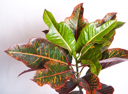 Как называется цветок с зелено желтыми листьями