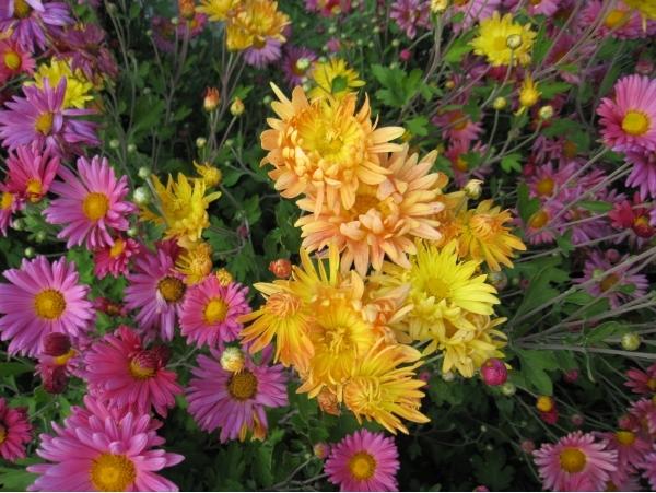 Хризантема индийская клеопатра выращивание из семян 77