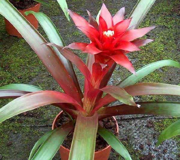 Как называется цветок с красными длинными цветками с